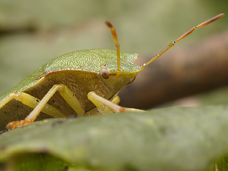 Green Shield bug 1