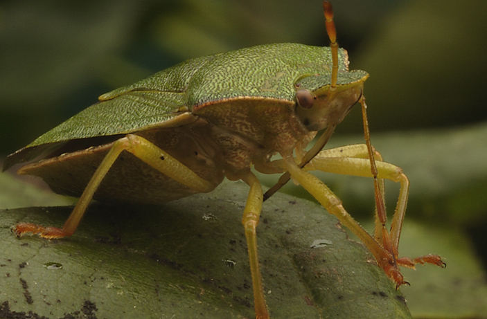 Green Shield bug 2