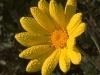 Dawn flower